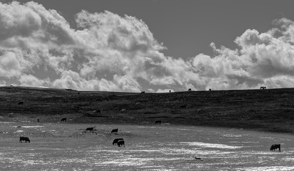 Cows and Clouds 3